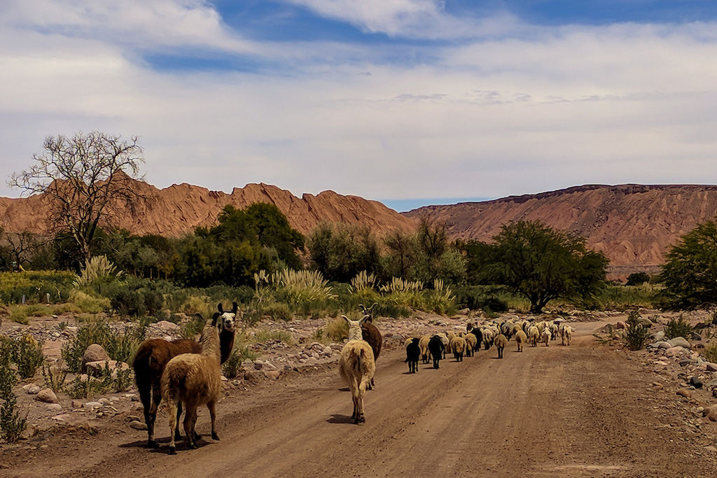 Herd of sheep and alpacas leading the way down a dirt desert road