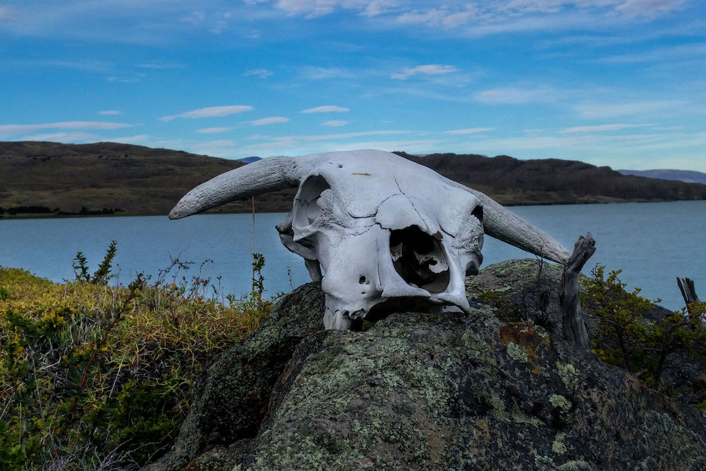 Cow skull sitting atop a rock with Viedma Bay against blue skies in the background