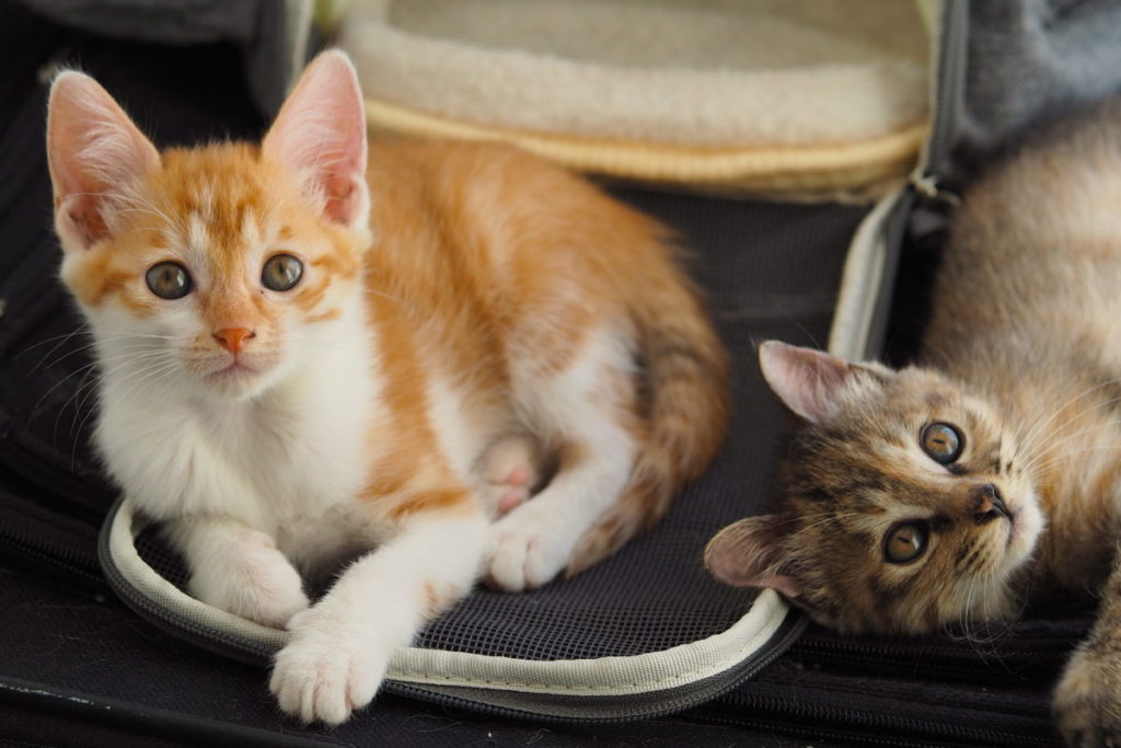An orange and tabby kitten laying down and looking at the camera
