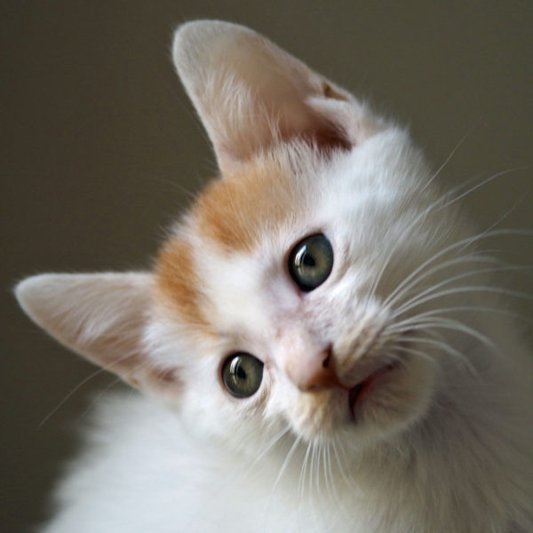 An white and orange kitten looking at the camera