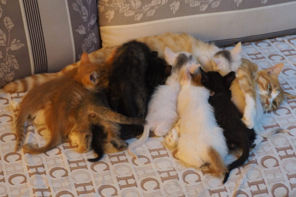 Nine kittens attempting to nurse from their mother at once